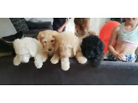 Standard poodle puppies (READY NOW)