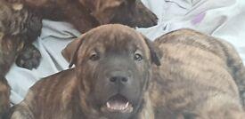 Shar Pei cross American Bull pups