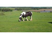 Bracey 15hh cob mare