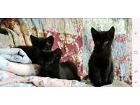 3 boy kittens for sale