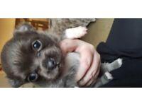 Chihauhau puppys kc registered
