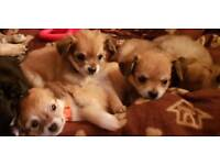 KC REG LONG HAIR CHIHUAHUAS