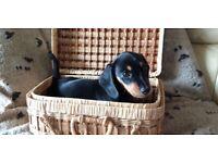 Miniature Dachshund Champion Puppies