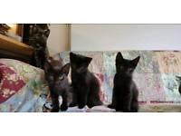 Black kittens for sale