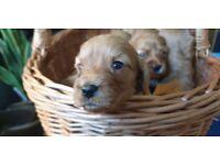 F2 'Splash' Cavapoo Puppies