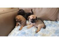 3/4 Pug x pup for sale