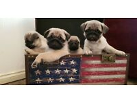PUG puppies ready NOW looking for new Home