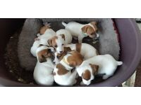Purebred Miniature Jack Russell Puppies