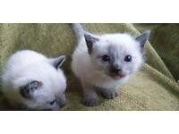 Beautiful Siamese Kittens for Sale / Kitten