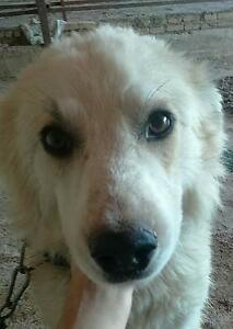 "Young Male Dog - Golden Retriever: ""JIM"""