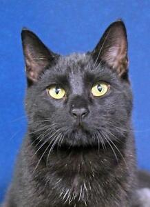 "Young Male Cat - Domestic Short Hair: ""Brandon"""