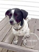"Adult Male Dog - Spaniel: ""Cosmo"""