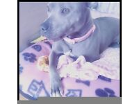 Beautiful, calm natured, well behaved staffy