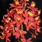 Crucifix Orchid Epidendrum Orchids