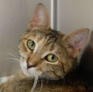 "Adult Female Cat - Domestic Short Hair: ""Sable"""