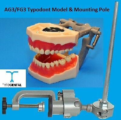 Dental Typodont Model Fg3 Ag3 Works With Frasaco Brand Teeth Mounting Pole