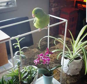 Free to a good home! Green Rump Parrotlet, cage, and accessories