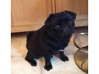 pug cross terrier puppies