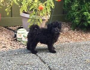 Poodle | Adopt Dogs & Puppies Locally in British Columbia