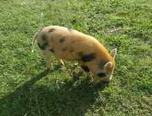Piglet - approx 3 months old Greenbank Logan Area Preview
