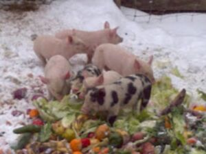 weaner pigs ready to go  **SALE PENDING  for all TUES.**