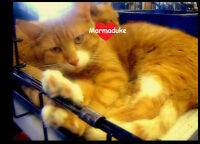 Marmaduke - big heart, long tail and always ready to cuddle :)