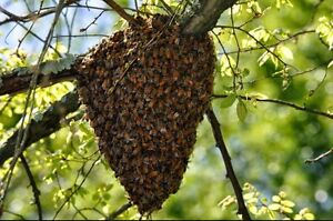 Bee swarm and beehive removal Urraween Fraser Coast Preview