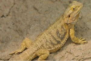 Looking for a Bearded Dragon