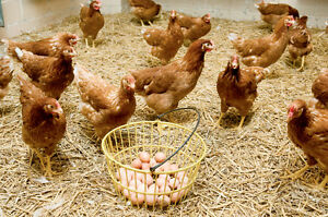 FREE delivery, Farm Fresh Naturally grown eggs, FREE range