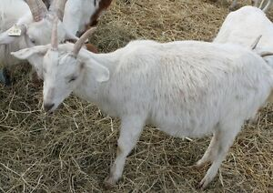 PREGANT 2015 DOE LARGE ALPINE SAANEN MIX GOAT