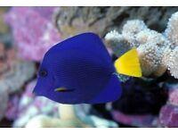 MARINE FISH / PURPLE TANGS FEEDING WELL