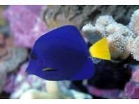 MARINE FISH / NICE AND HEALTHY PURPLE TANGS . FEEDING WELL