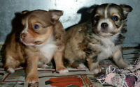 Gorgeous Fluffy Long Coat Female Chihuahua Puppies