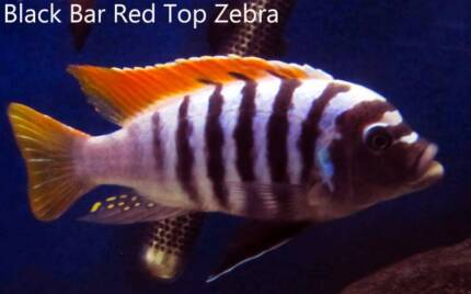 Red Top Black Bar Zebra....nice African Cichlids! Ormeau Gold Coast North Preview