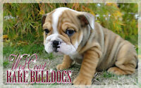 1 SABLE ENGLISH BULLDOG BOY LEFT!! PRICE REDUCED!!!!
