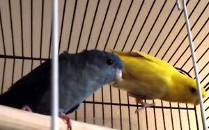 2 Lineolated Parakeets  with cage