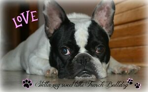 Sweet female French bulldog !! 17 month old