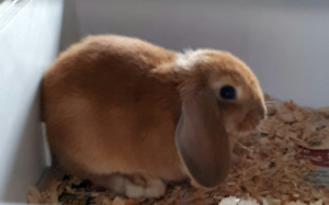 jolie lapine bélier