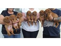 KC REG DOGUE DE BORDEAUX PUPS WITH CHAMPION BLOODLINES READY TO LEAVE 4TH NOVEMBER