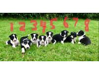 Border Collie Puppies *only 2 available