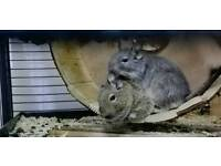 Degu (2 Male Degus) for adoption with Accessories