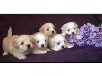 Maltese x cavachon puppies