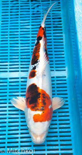 Koi carp for sale ebay for Israeli koi for sale