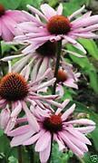 Echinacea Plants