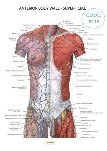 Human Body Poster Ebay