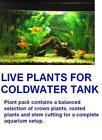Live Goldfish