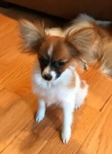 Papillon Adopt Dogs Puppies Locally In Ontario Kijiji Classifieds