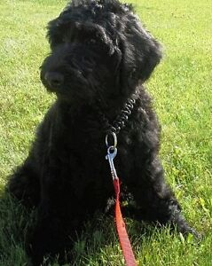 Quality bred Goldendoodles! One Left !! Amazing Girl!