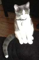 Gray/White cat with white tip on its tail - LOST