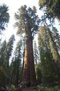 Redwood Seeds
